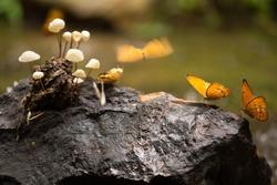 Two butterflies on rock with mushroom