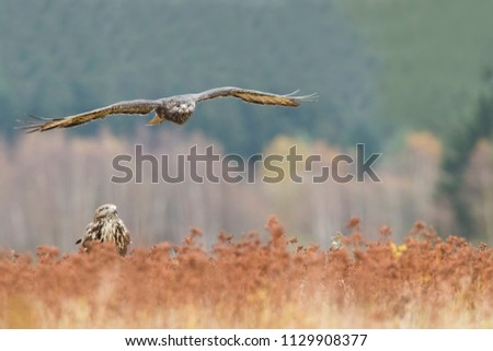 two buzzards, one buzzard flying over another buzzard in autumn nature