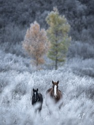 Two By Two.Two Thoroughbred Altai Free Grazing Adult Horses Of Various Colors In Autumn Morning Among The Grass In Snow-White Hoarfrost And Two Larch Trees Of Different Colors. Great Siberian Stallion