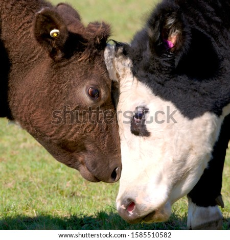Two Calves Being Affectionate Together