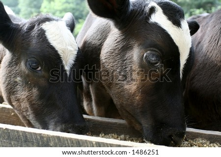 Two calves eating grain