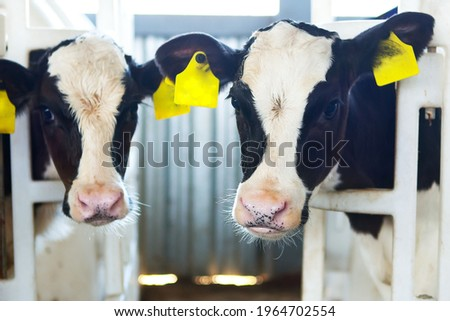 Two calves in a calf barn peek out of an open-air cage at a dairy farm. Milk production, agriculture.  Foto stock ©