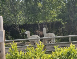 Two camel in the zoo trying to eat leaf and watching apposite side.