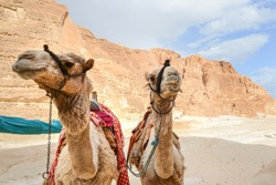 Two camels. Head portraits  of  two skinny one-humped camels in old  bedouin harness. Bedouin life.   Sinai desert.  Egypt.
