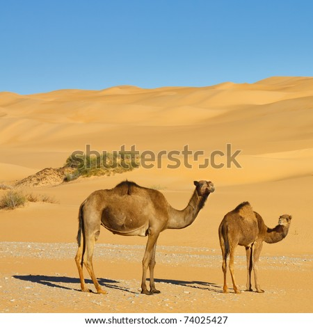 Two Camels in the Desert - Awbari Sand Sea, Sahara Desert, Libya