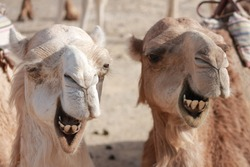 Two camels in the Libyan desert, Egypt