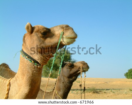 Two camels staring into the distance