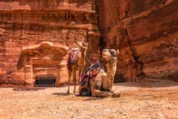 Two camels under red rocks in Petra. Jordan