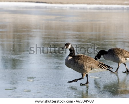 two canada geese careful on icy water