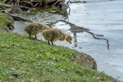 Two Canada geese goslings timidly look at the river from the shoreline.