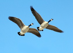 Two Canadian Geese Flying