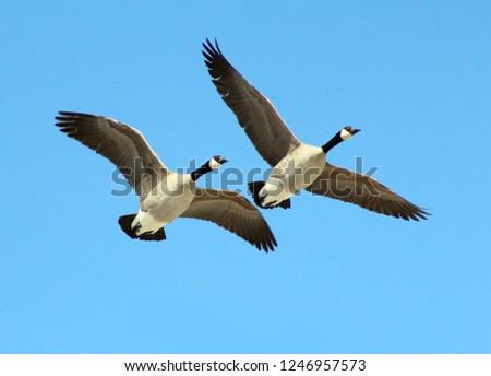 Photo of  Two Canadian Geese Flying