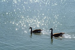 Two Canadian geese swim in Lake Elizabeth, Fremont