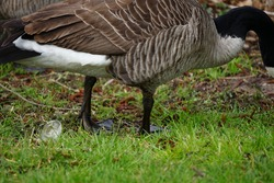 two Canadian wild geese in a park in Bielefeld, a few Canadian wild geese in Bielefefeld