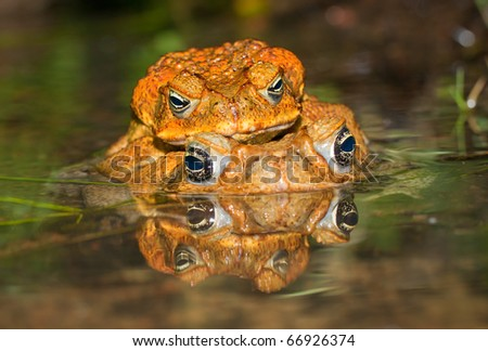 Two cane toads (Bufo marinus) mating in the water