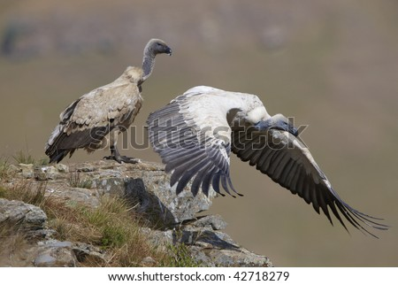 Two Cape Griffon or Cape Vultures (Gyps coprotheres) sitting on the rock in South Africa. It is an Old World vulture in the Accipitridae family