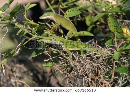 two Carolina anole, Anolis carolinensis, in bushes
