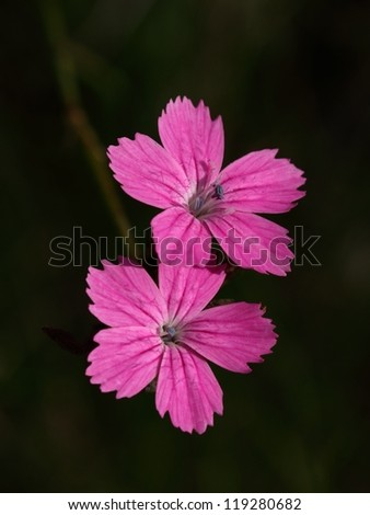Two Carthusian Pink (Dianthus carthusianorum).