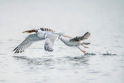 Two Caspian Gulls (Larus cachinnans) fight grapple with each other as they try to steal fish. Oder delta in Poland, europe.