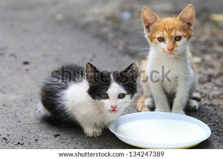 Two cat drinking milk