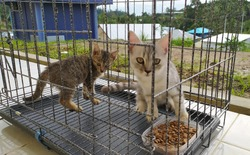 Two cats, a domestic cat and a Persian cat, are eating dry food in a black cage