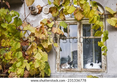 Two cats in a window frame surrounded by grape vine leafs on an autumn day/Window cats/Cats sitting inside a window frame with autumn vine leafs on the wall. Rm Valcea, Romania, 1 November, 2014