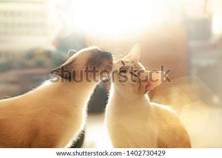 Two cats loving each other , Cleaning by licking hair.