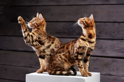 two cats sit on the cube. beautiful cat of Bengali breed. Young domestic cat. Exhibition animal. Bengali cat posing. perfect view of photography