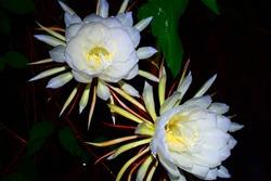 two Cestrum nocturnum flowers at night