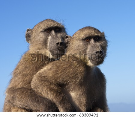 Two chacma baboons (papio ursinus) outlined against the sky. These monkeys, part of a large troop, were on a car near the Cape of Good Hope, South Africa. Chacma baboons are African Old World monkeys.