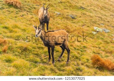 Two chamois (Tatra chamois, Rupicapra rupicapra tatrica) on a grassy slope.