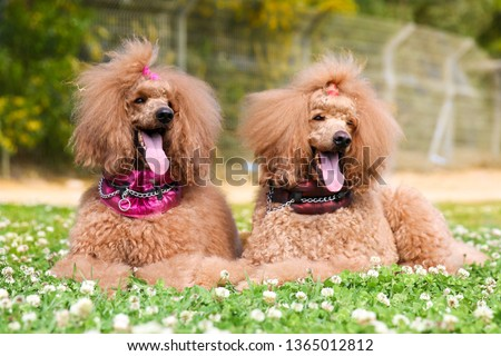 Two charming amazing standard king poodle adult male and female lies outside on hot spring summer day, wearing special  pink collars.Smartest dog breed portrait in green blooming field with clover