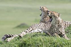Two Cheetah (Acinonix jubatus) lying down on hill in savanna, yawning, Masai Mara, Kenya