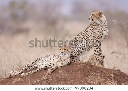 Two Cheetah brothers (Acinonyx jubatus) on a termite mound, South Africa #99398234