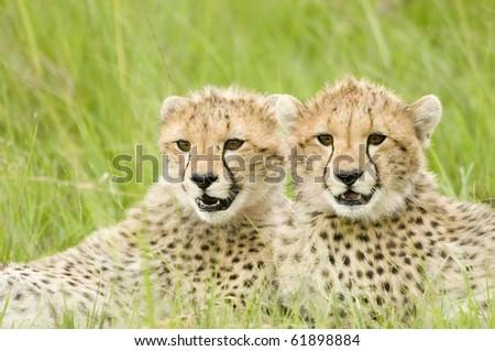 two cheetah cubs huddled up together alert in Kenya's Masai Mara
