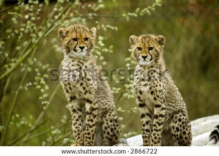 Two Cheetah cubs looking at viewer (Acinonyx jubatus) - landscape orientation