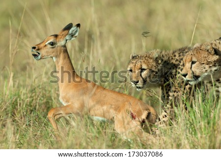 Two Cheetah hunting and catching Impala antelope