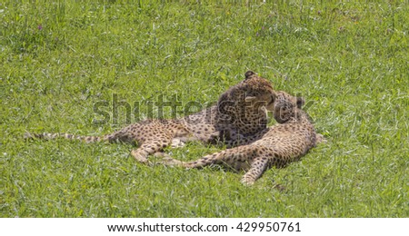 Two cheetahs (Acinonyx jubatus) kissing on the mouth while lying on the grass. #429950761