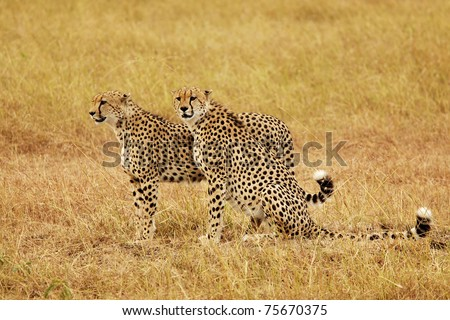 Two cheetahs (Acinonyx jubatus) on the Masai Mara National Reserve safari in southwestern Kenya.