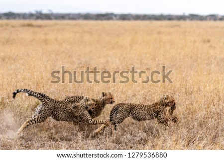 Two cheetahs chasing lead cheetah with rabbit in mouth