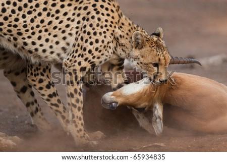 Two cheetahs killing an adult impala ram