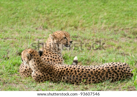 Two cheetahs lying on the grass. Cheetah (Acinonyx jubatus) is a large-sized feline inhabiting most of Africa and parts of the Middle East. Photo was taken in Masai Mara National Park, Kenya.