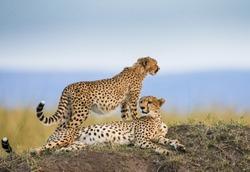 Two cheetahs on the hill in the savannah. Kenya. Tanzania. Africa. National Park. Serengeti. Maasai Mara. An excellent illustration.