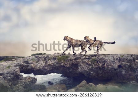 Two Cheetahs Running On A Top Of Rock