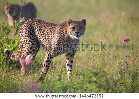 Two Cheetahs stalking its prey through long grass of the veldt