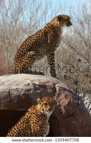 Two cheetahs standing guard at the den