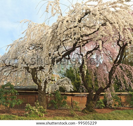 Two cherry trees with pink and white blossoms blooming early in the Brooklyn Botanic Gardens in New York City