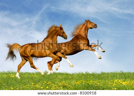 two chesnut horses
