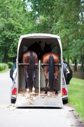 Two chestnut horses standing in trailer waiting for competition. Summertime outdoors vertical image. View from backside