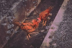 two chicken finding meal on gutter. animal photography